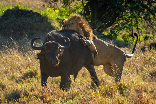 Male lion grabbing Cape buffalo by hindquarters