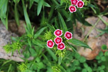 Turkish carnation flowers in the garden