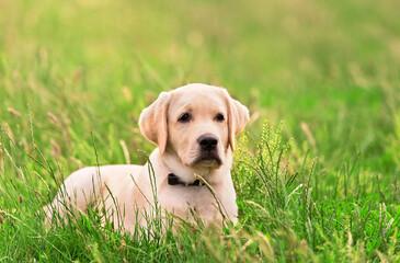 Labrador retriever dog in the nature