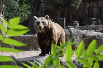 Closeup shot of a grizzly bear standing proud on its territory