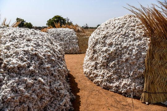 A pile of freshly harvested Dafani cotton from eastern Burkina Faso.