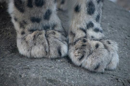 A closeup of a snow leopard's paws