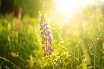 Close up of lupine flowers in field on sunset.
