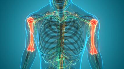 Human Skeleton System Humerus Bone Joints Anatomy