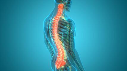 Vertebral Column of Human Skeleton System Anatomy