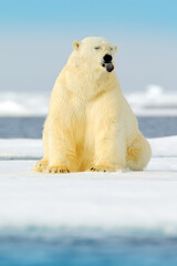Dangerous bear sitting on the ice, beautiful blue sky. Polar bear on drift ice edge with snow and...