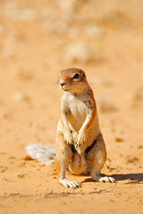Cape ground squirrel, Xerus inauris, cute animal in the nature habitat, Spitzkoppe, Namibia in Africa. Squirrel sitting in sand, sunny day in nature.