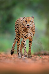Cheetah, Acinonyx jubatus, walking wild cat. Fastest mammal on the land, Botswana, Africa. Cheetah...