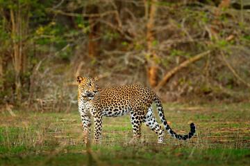 Walking Sri Lankan leopard, Panthera pardus kotiya. Big spotted wild cat in the nature habitat, Yala national park, Sri Lanka. Widlife scene from nature. Leopard in green vegetation.