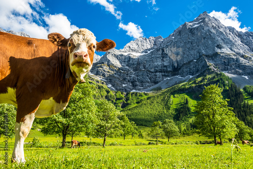 Wall mural nice cow at the eng alm in austria