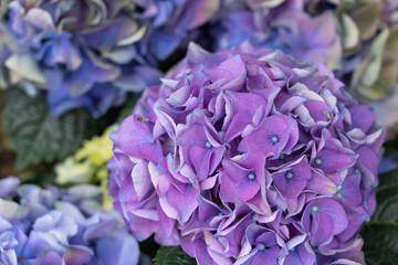 Vigorous blue bloom of a hydrangea