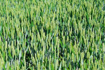 Wheat plants in a field