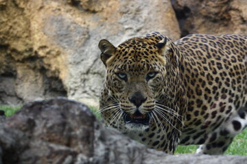 Aluminium Prints Leopard Impressive leopard staring intently ahead, challenging with its feline eyes