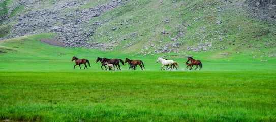 wild, crazy and free horses living in large, wide and highland areas