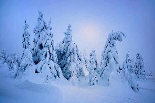 frozen trees with snow virgin nature winter still life