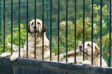 Fototapeta Potrait of attentive, mistrustful, reliable, formidable. hard, trained guarder at home. The purebred Alabai (Central Asian Shepherd) guard house in Zumaia (Basque country, Basque Autonomous Community)