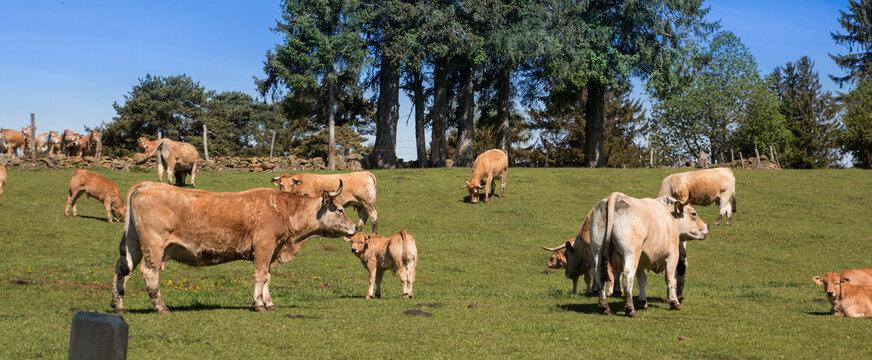 Troupeau de vaches Aubrac