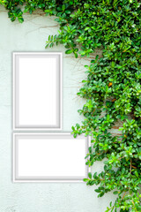 Two photo frames mockup on the wall covered with green ivy.