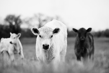 Wall Mural - Group of young calves on cow farm close up in black and white.