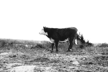 Wall Mural - Hereford cow on farm in black and white, copy space on background.