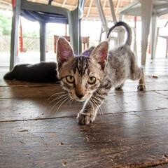 Filhote de gato curioso se aproximando da câmera. Retrato de gatinho no chão de madeira