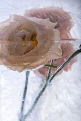 Akeleien in kristallklarem Eis 1