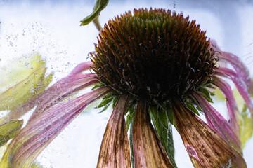 Echinaceae in Eis 1