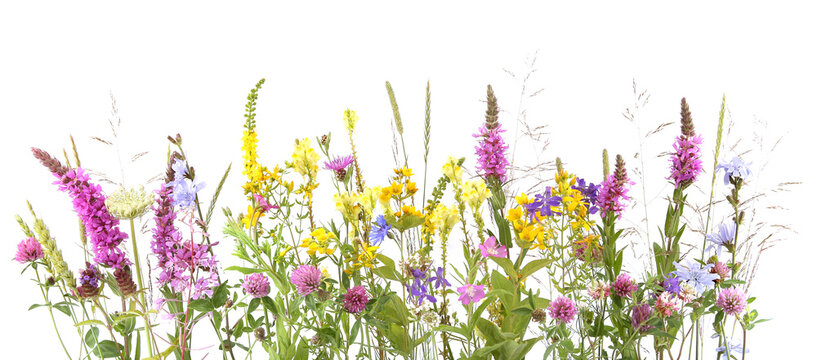 Flowering wild grass and herbs isolated on white background. Border of meadow flowers wildflowers and plants..