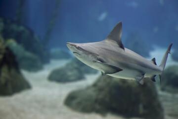 Dangerous shark closeup