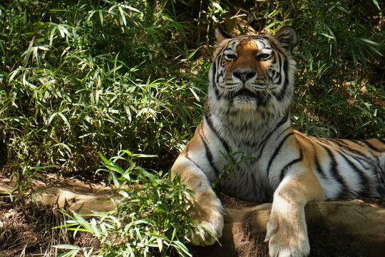 こちらを見つめるトラ