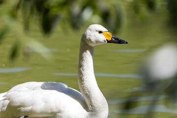 Portrait of a white swan swimming in a small lake on a sunny day, in the foreground soft focus