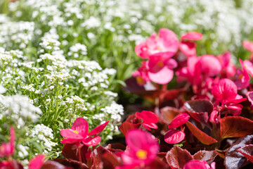 Close-up of a beautiful flower bed with white alissum flowers