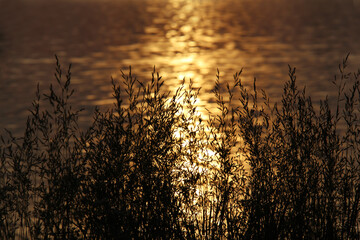 Grass silhouette on sunset background. Reflection of the orange sun in the water. Pond, lake,...
