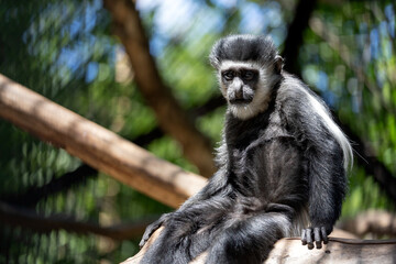 Portrait of an adult black and white lemur sadly sitting on a tree branch