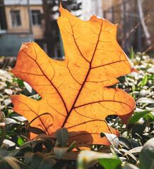 Close up of an orange oak leaf in autumn.