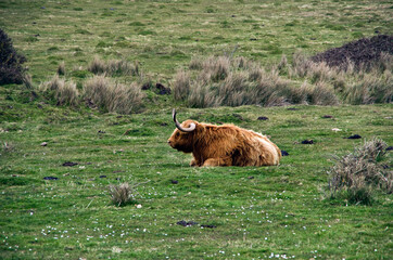 Cows in a Green Field on A Coastline Grazing