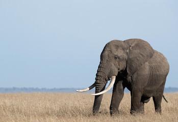 Wall Mural - Portrait of a African elephant in Savannah, Masai Mara