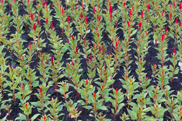 Photo sur Toile Doux monstres A lot of red flowers growing in rows