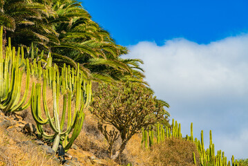 Cactuses and palm trees on the hill against blue sky with clouds. Tenerife, Spain