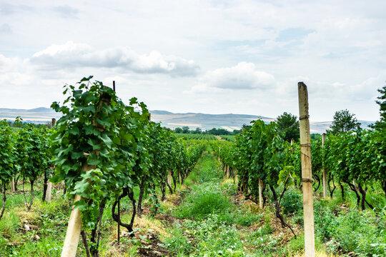 Vineyard in Kakheti region, Georgia