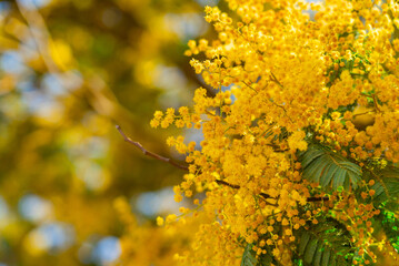 Mimosa spring flowers background. Blooming mimosa tree over blue sky, bright sun. Spring holiday blossom on Tenerife, Spain
