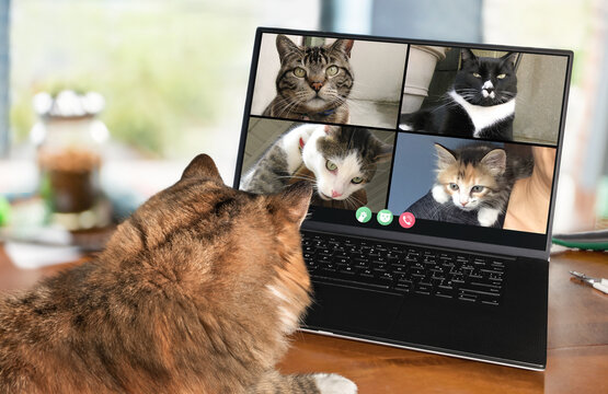 Back view of cat talking to cat friends in video conference. Group of cats having an online meeting in video call using a laptop. Focus on cats, blurred background.