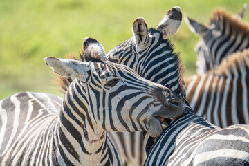 Photo sur Plexiglas Zebra Zebras are found accross africa's national parks.