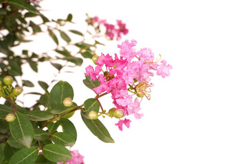 crepe myrtle flowers in garden