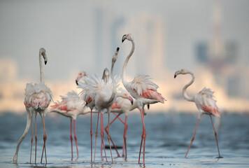 Garden Poster Flamingo Greater Flamingos fight during feeding, Bahrain