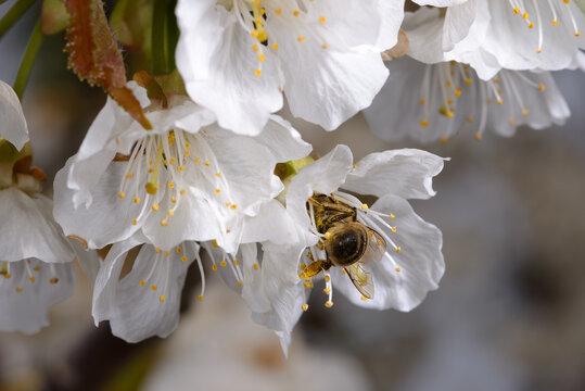 Ape su fiore di ciliegio