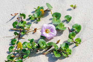 beautiful bindweed of the dunes in the sand of the dune of Pyla, near Arcachon on the Atlantic coast, in Aquitaine, in the southwest of France