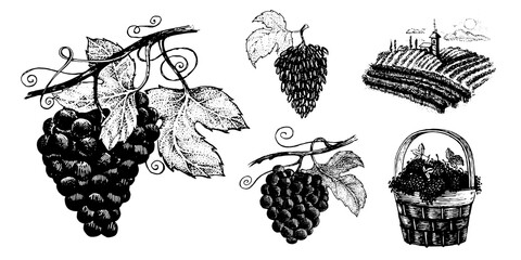 Grapes, vector set of images