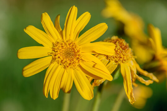 Arnica montana flower in the Vosges mountains in France