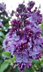 Obraz Piękny kwiat w kolorze cudownej fuksji  Zdjęcie zrobione w Ogrodzie Botanicznym w Powsinie  - fototapety do salonu